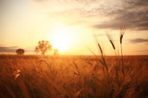 Sunset in Russia in a wheat field © Kichigin