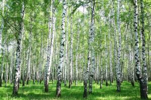 Spring birch forest © Elena Kovaleva